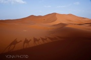 Camels walking through the Sahar, Merzougha, Morocco
