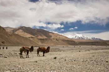 Ata camels in Pamir Mountains, South of Kashgar, Xinjiang Province, China