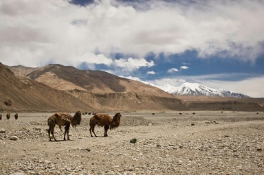 Ata camels in Pamir Mountains, South of Kashgar, Xinjiang Province, China