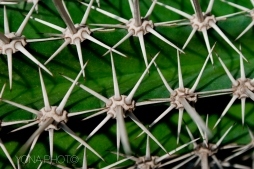 Spikes showing an organized patern on a Garden Cactus