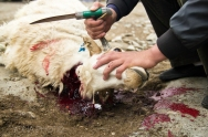 Mutton meat - prepared around Qinghai Lake - China