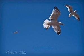 Sea Gulls are like flying rats, always looking for food