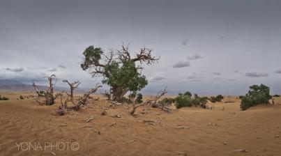 Poplar Forest in Golmud, Qinghai Province, China