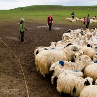 Photo Documentary - The sheep shearers of Qinghai Lake