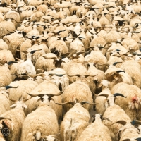 Planet of the Sheep