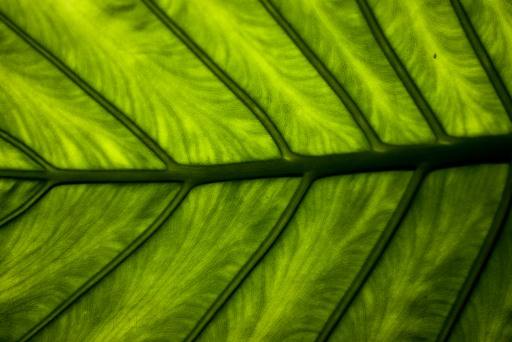 The nerves of the leaf can be seen through its tissue